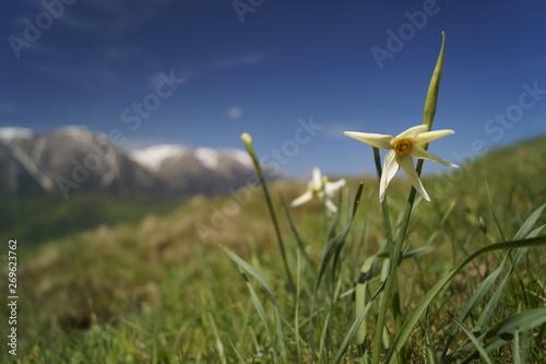 Recess Fitting Narcissus Wild flowers - wild daffodils, narcis - Narcissus radiiflorus