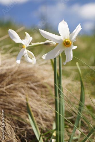 Wall Murals Narcissus Wild flowers - wild daffodils, narcis - Narcissus radiiflorus