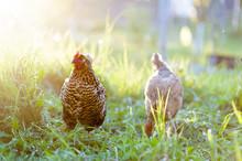 Mottled, Light Red Chicken Bre...