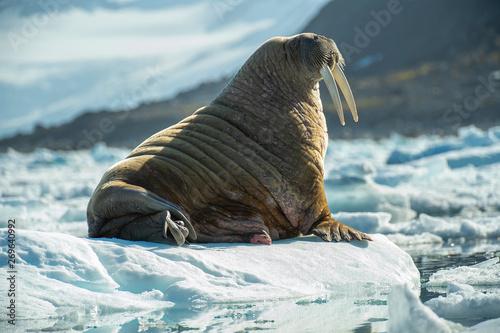 Canvas-taulu Tusks on Ice