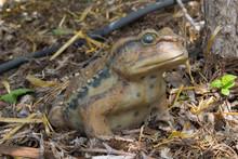 Porcelein Toad