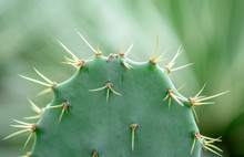 Needles Of Green Cactus Close Up, Macro Photo