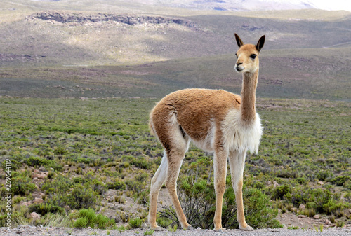 Foto op Canvas Lama Vicuna near the Colca Canyon