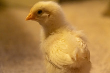 A One-week Old Leghorn Chick L...