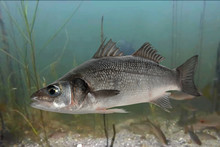 Live Sea Bass Fish Close To The Seabed