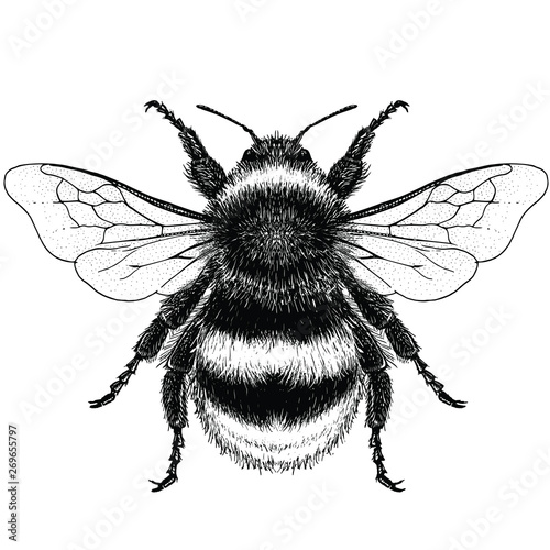 Illustration of a Buff-Tailed Bumblebee Poster Mural XXL