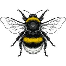 Male Buff-Tailed Bumblebee (Bo...
