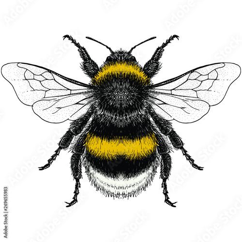 Leinwand Poster Male Buff-Tailed Bumblebee (Bombus terrestris)