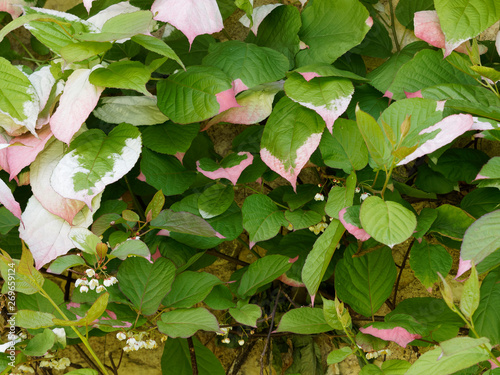 Le kiwi arctique ou Actinidia kolomikta, une plante grimpante ornementale originaire de régions froides d'Asie aux feuilles panachées de blanc, crème et rose aux petites fleurs blanches parfumées Wallpaper Mural