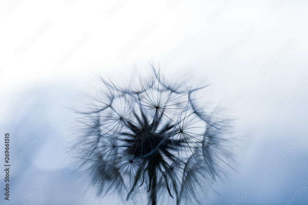 Fototapety, obrazy: Abstract dandelion seeds over clear background. Blowing in blank scenery