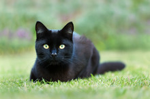 Close Up Of A Black Cat Lying On Grass In The Garden