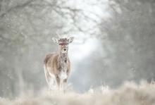 Juvenile Fallow Deer In The Falling Snow