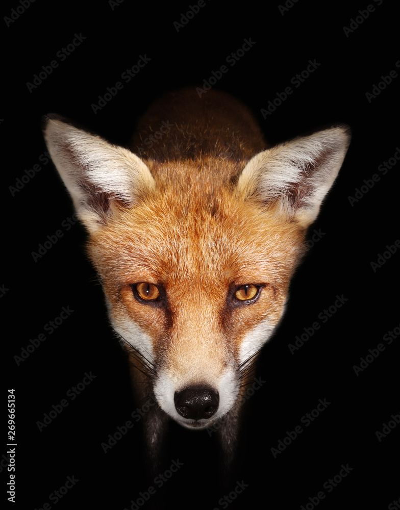 Fototapety, obrazy: Close up of a Red fox against black background