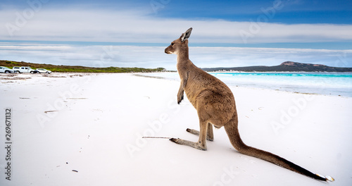 Spoed Foto op Canvas Kangoeroe Kangaroo at Lucky Bay in the Cape Le Grand National Park