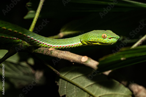 Vibrant Photo Of A Dangerous Pope S Pit Viper In Vietnam Buy This Stock Photo And Explore Similar Images At Adobe Stock Adobe Stock