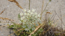 Queen Anne's Lace And Dead Leaves