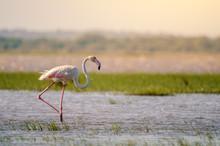 A Greater Flamingo (phoenicopt...