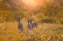 3 Young Male Impalas (aepycero...