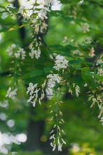 White Flowers In A Tree In The...