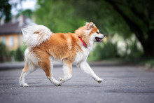 Akita Inu Dog Running Outdoors In Summer