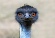Portrait Of Australian Emu Bird (Dromaius Novaehollandiae) On The Nature.