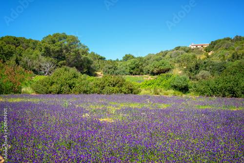 In de dag Lavendel Field of wild purple flowers in Menorca, Balearic islands, Spain