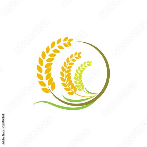 Obraz na plátně Design Orange brown paddy rice premium natural