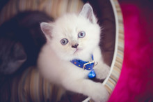 White Persian Shorthair Kitten With Blue Eyes Sitting On Bed In A Pink Background Looking At The Camera.