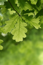 Green Oak Leaves Background. P...