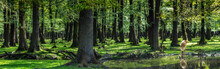 Wald-Panorama Mit Hirsch