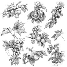 Fruits And Berries Set Pencil Drawing