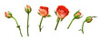 Set of orange rose flowers and buds