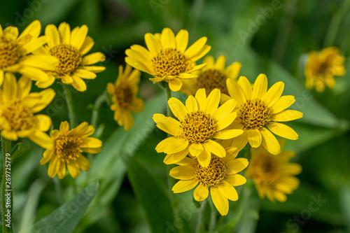 Fototapeta Close view of yellow Arnica(Arnica Montana) herb blossom.Note: Shallow depth of field obraz