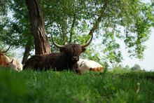 Scottish Longhorn Cattle In Th...