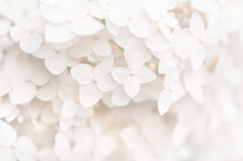 Background Small White Flowers Hydrangea, Texture. Selective Focus. Beautiful And Dreamy Art Image.