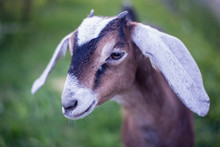 Portrait Of A Young Goat Nubia...