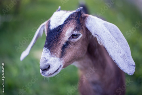 Portrait of a young goat Nubian breed. Canvas Print