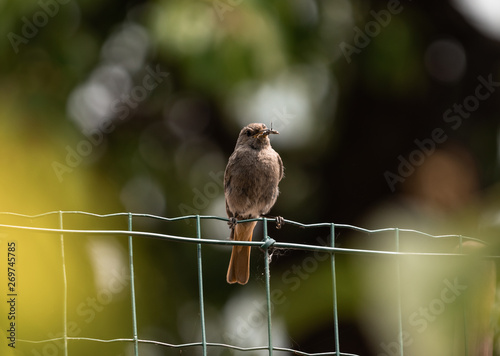 Fotografija Bird on a fence, bringing flies and worms to the youngling.
