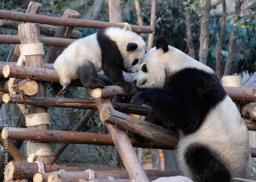 Montage in der Fensternische Pandas Panda mother and cub at Chengdu Panda Reserve (Chengdu Research Base of Giant Panda Breeding) in Sichuan, China. Two pandas looking at each other. Subject: Pandas, Cub, Reserve, Chengdu.