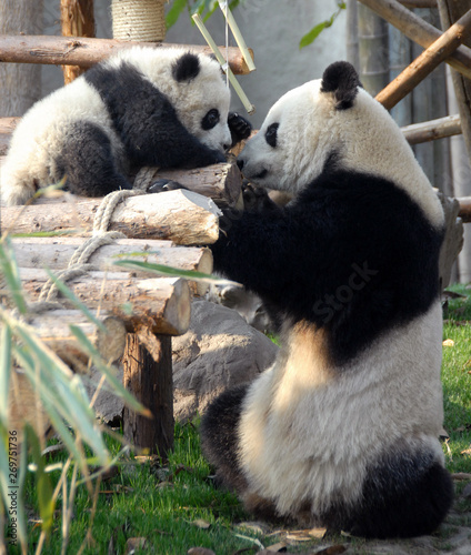 Fotografija  Panda mother and cub at Chengdu Panda Reserve (Chengdu Research Base of Giant Panda Breeding) in Sichuan, China