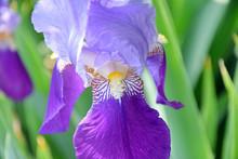 Iris Violet Flower On Home Garden