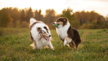 Two Fluffy Dogs, An Adult And ...