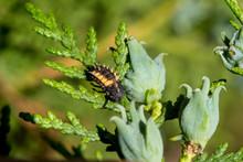 Harlekin Ladybug (Harmonia Axyridis) Larva