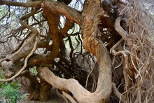 Twisted Tree Trunk Branches St...