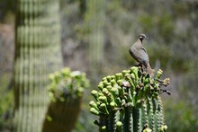 Dove On Blooming Saguaro Cactu...