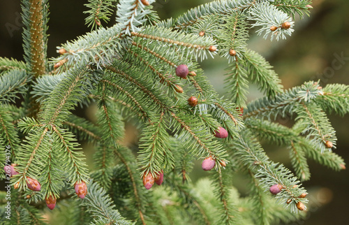 A pretty branch of a Spruce, Tree, Sitka, Picea sitchensis, growing in woodland in the UK Tapéta, Fotótapéta