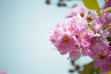 Lose-up Pride Of India Flowers (Lagerstroemia Speciosa)