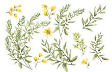 A Watercolor Drawing Of Branches With Leaves And Buds. Botanical Illustration. A Set Of Wild Herbs. Yellow Wildflowers.