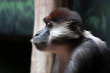 Red Capped Mangabey Ape Monkey