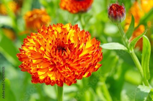 Terry Calendula flower close-up Canvas Print